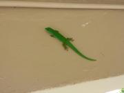 Gecko :-)